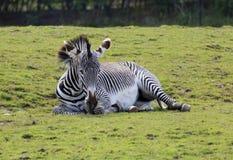 Gevangen Zebra Stock Fotografie