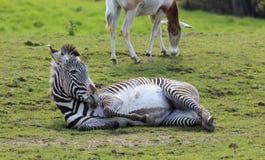 Gevangen Zebra Royalty-vrije Stock Afbeeldingen