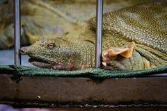 Gevangen zeldzame schildpad op Vietnamese markt Royalty-vrije Stock Foto's