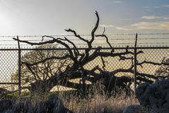 Gevangengenomen gevallen eiken boom achter cycloonomheining bij zonsondergang royalty-vrije stock fotografie