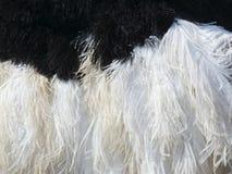Gevedertedetail van mannelijke struisvogel Stock Afbeeldingen