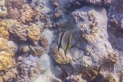 Geveerde batfish (Platax-pinnatus) Stock Afbeelding