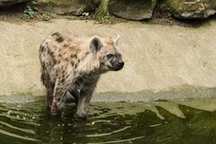 Gevelkte Hyena P1750347 Royalty Free Stock Photo