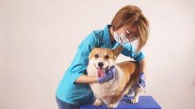 Gevend ontzagwekkend meisje die een huisdier in het ziekenhuis brussing stock video