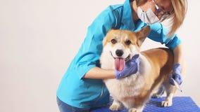 Gevend ontzagwekkend meisje die een huisdier i brussing het ziekenhuis stock videobeelden