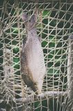 Geverfte Enige Vissen Royalty-vrije Stock Afbeeldingen