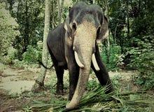 Geverketteter Elefant Stockbilder