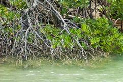 Gevestigde tribune van mangroveinstallaties Stock Fotografie