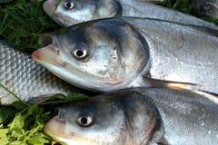 Gevist voor vissen Stock Foto