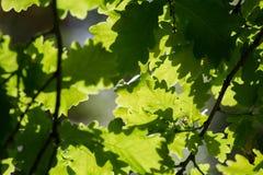 Gevlekt licht door eiken bladeren Stock Foto's