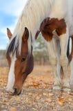Gevlekt paard. Stock Afbeeldingen