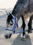 Gevlekt paard in blauw teugel buigend hoofd Stock Afbeeldingen