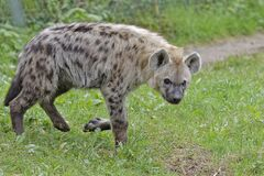 Gevlekte hyena (Spotted hyena) 001330 Royalty Free Stock Image