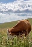 Gevlekte koe die in de weiden eten royalty-vrije stock afbeelding