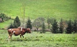 Gevlekte koe op een koepaddock met sommige bomen in de rug Stock Afbeeldingen