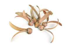 Gevleugeld zaad van Dipterocarpaceae op witte achtergrond Stock Foto's