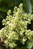 Gevleugelde copallinum Wildflowers van Sumac Rhus met Bij Stock Afbeelding