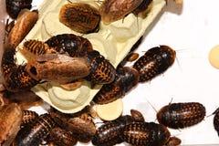 Gevleugelde kakkerlakken royalty-vrije stock fotografie