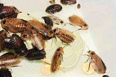 Gevleugelde kakkerlakken Stock Afbeelding
