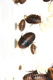 Gevleugelde kakkerlakken royalty-vrije stock foto