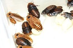 Gevleugelde kakkerlakken royalty-vrije stock foto's