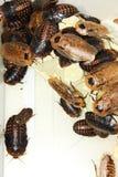 Gevleugelde kakkerlakken stock fotografie