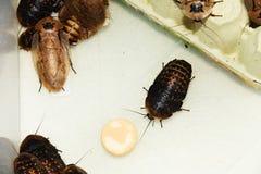 Gevleugelde kakkerlakken stock afbeeldingen
