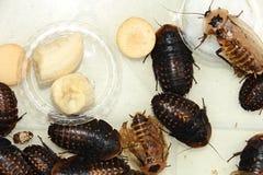 Gevleugelde kakkerlakken royalty-vrije stock afbeeldingen