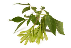 Gevleugelde zaadpeulen en bladeren van een esdoornboom Stock Fotografie