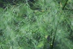Gevoelig groen aspergeclose-up Royalty-vrije Stock Afbeeldingen