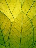 Gevoelig groen bladerendetail Royalty-vrije Stock Afbeelding