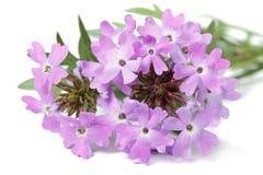 Gevoelig purper geïsoleerd bloemenijzerkruid Stock Foto