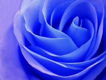 Gevoelige blauw rosebud nam close-up toe Stock Fotografie