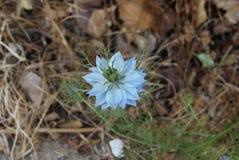 Gevoelige blauwe bloem die door kant van de wegonkruid ontspruiten royalty-vrije stock afbeeldingen