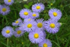 Gevoelige blauwe bloemen (Erigeron) Royalty-vrije Stock Afbeeldingen