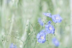 Gevoelige blauwe bloemen van vlas op een mooie groene achtergrond Linnen in openlucht Selectieve nadruk Stock Afbeeldingen