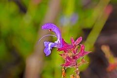 Gevoelige blauwe salie wildflower met dauw royalty-vrije stock fotografie