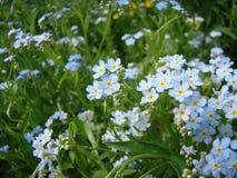 Gevoelige blauwe wildflowers stock fotografie