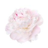Gevoelige bleek - roze pioen Royalty-vrije Stock Fotografie