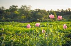 Gevoelige bloeiende wilde papaver royalty-vrije stock afbeeldingen