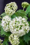 Gevoelige bloem witte hydrangea hortensia op donkere achtergrond Royalty-vrije Stock Afbeeldingen