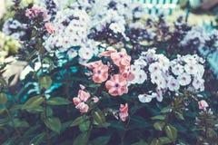 Gevoelige bloemblaadjes van Hydrangea hortensiabloemen perfect voor huwelijk Royalty-vrije Stock Foto's