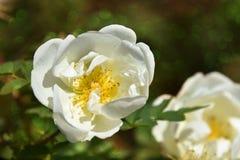 Gevoelige bloemen van witte tuinrozebottels op stekelige struiken met ovale groenachtige bokeh stock fotografie