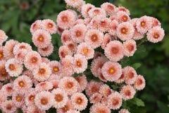 Gevoelige bloemen vele roze chrysanten tegen een groene achtergrond van bladeren Stock Afbeelding