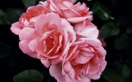 Gevoelige bloemenrozen Stock Afbeelding
