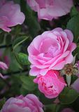 Gevoelige bloemenrozen Stock Afbeeldingen