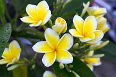 Gevoelige bloemfrangipani in de ochtenddauw Toerisme, Indonesië De natuurlijke tederheid en de schoonheid, aromatherapy, mooie fr Royalty-vrije Stock Foto