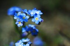 Gevoelige de lentebloemen van vergeet-mij-nietje Royalty-vrije Stock Afbeeldingen