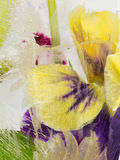 Gevoelige die iris in ijs wordt bevroren Royalty-vrije Stock Afbeelding