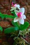 Gevoelige en mooie Orchideebloemen op de donkere achtergrond van de steenmuur Helder wit met roze vlekkenbloemen Voor affiche, de Royalty-vrije Stock Afbeelding